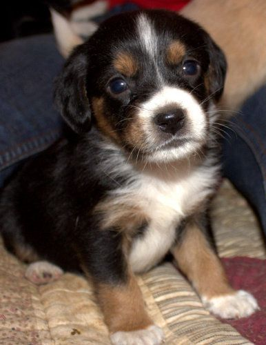 Beagle And Cocker Spaniel Mix Puppies Images Pictures Becuo