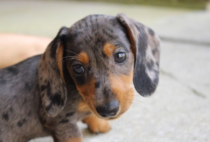 Dapple Miniature Dachshund Dachshund Breed Clever Dog Dachshund
