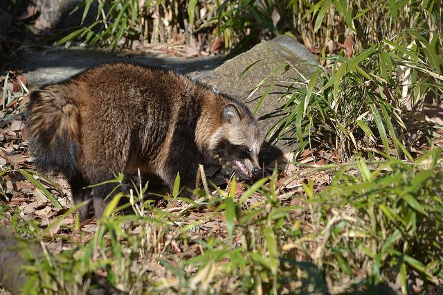ホンドタヌキ@よこはま動物園ズーラシア   Flickr - Photo Sharing!