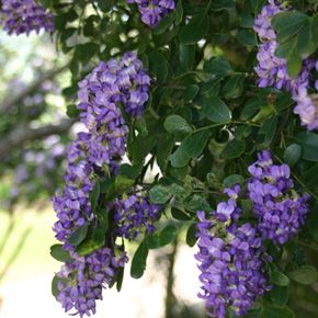 Texas Mountain Laurel Is A Perennial Favorite In Central With Red Beans And Purple