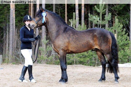 New Forest Pony - stallion Klockas Ikaros