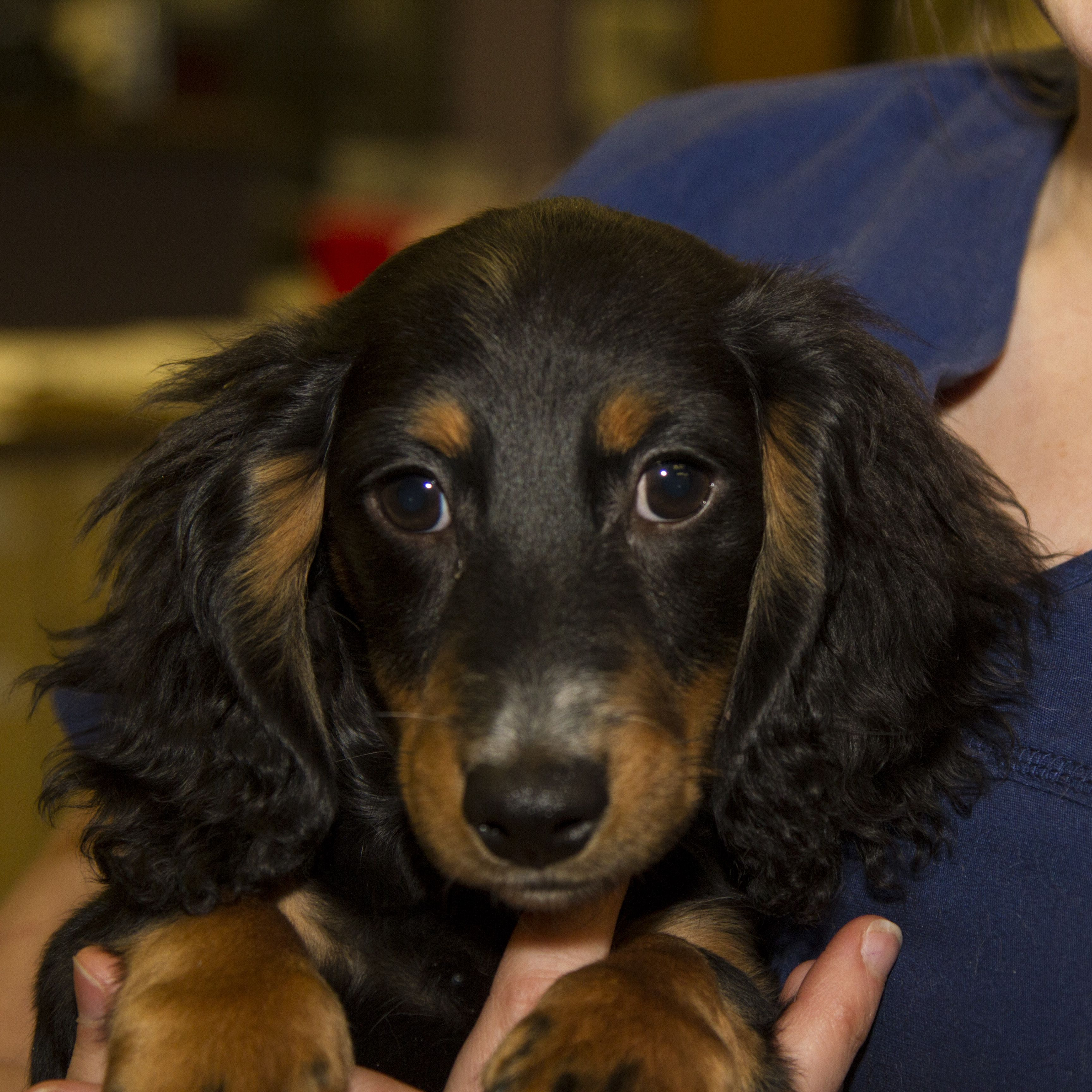 Oliver Is A Long Haired Dachshund Puppy Dachshund Puppy Long