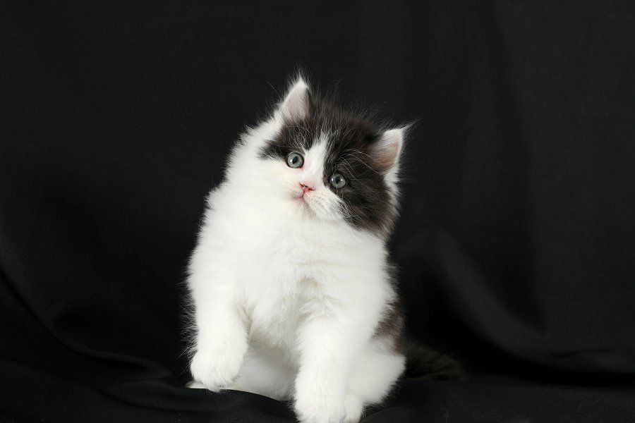 Black White Persian Kitten Available Cute Kitten Pics Persian Cat Doll Face Persian Kittens