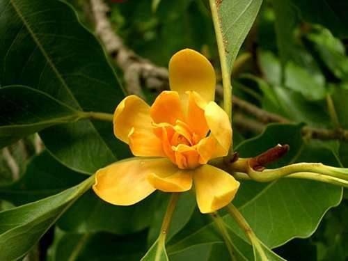 Magnolia Amarela Mornig Quotes Magnolia Magnolia Trees