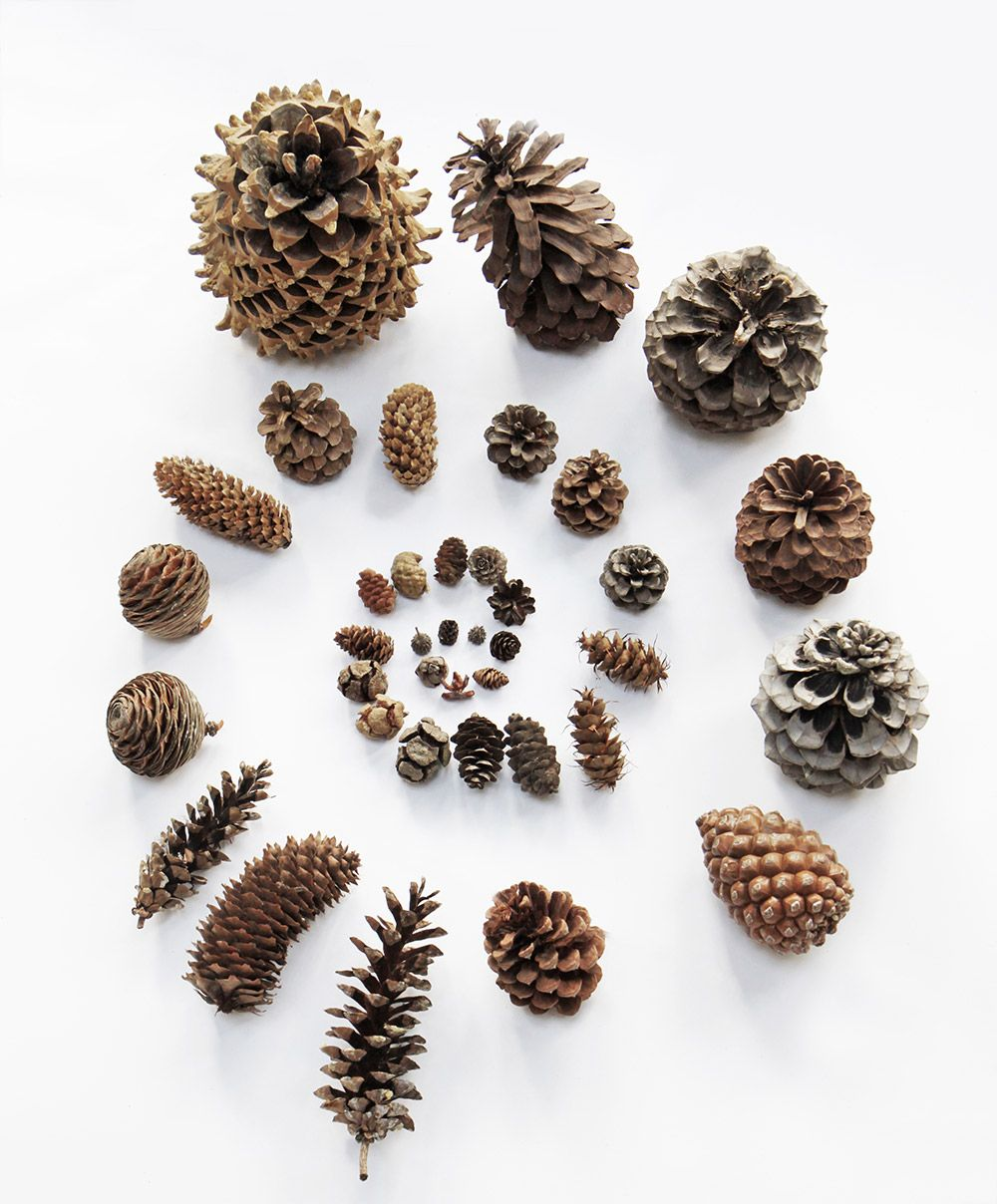 Pine cone galaxy collection includes cones from for Long pine cones