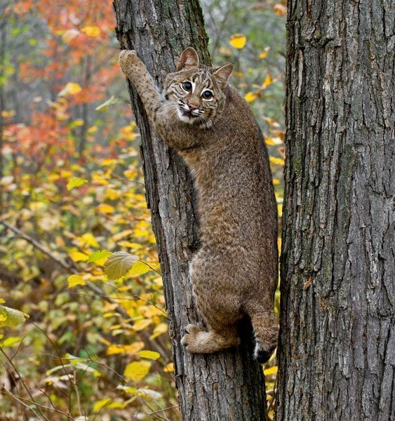 Yes, we have Bobcats in the Ozarks in Arkansas. Photo by ...