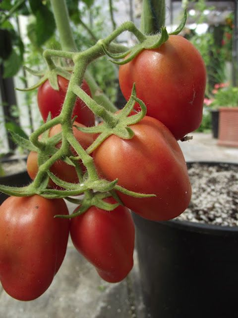 Dix Doights Des Naples heirloom tomato at The Nitty Gritty Potager