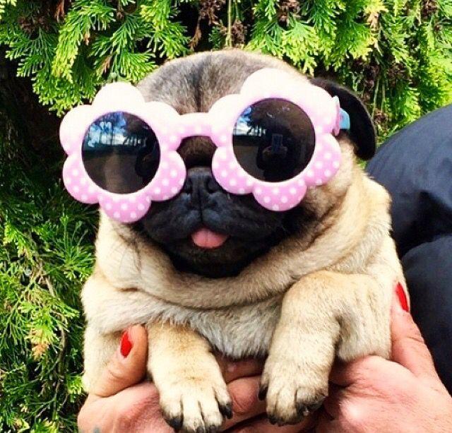 Resultado de imagen para pug sunglasses