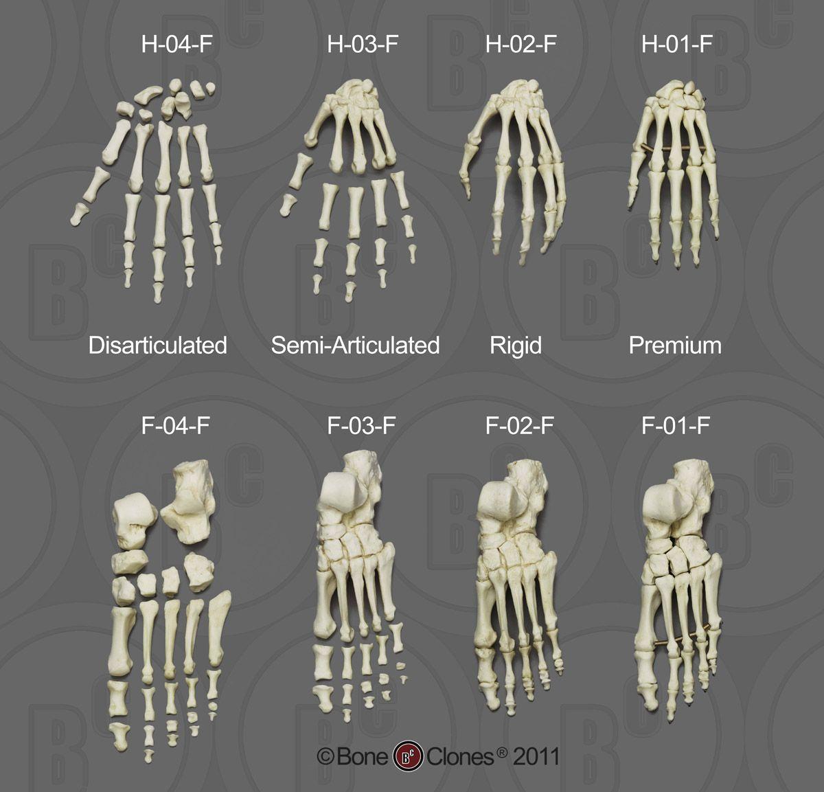 human hand skeleton - Поиск в Google | pws | Pinterest | Anatomy ...