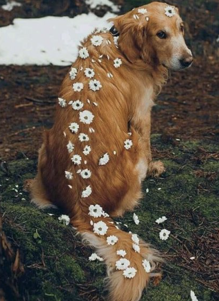 daisies on a golden retriever | best dog breeds for young families | loyal dog breeds | best aesthetic dog photography photos | #goldenretriever #puppy #dogs #puppies #goldens #dog breeds #dogsphotography