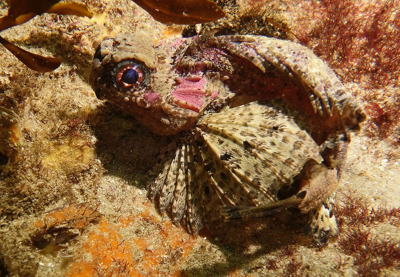 Goblinfish - Glyptauchen panduratus #marineexplorer
