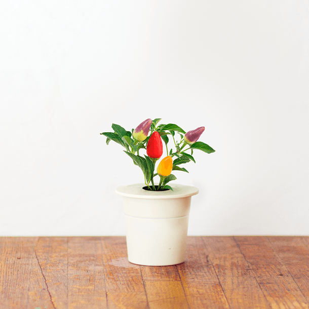 How to grow a beautoful garden in a small space. CHILI PEPPER ...