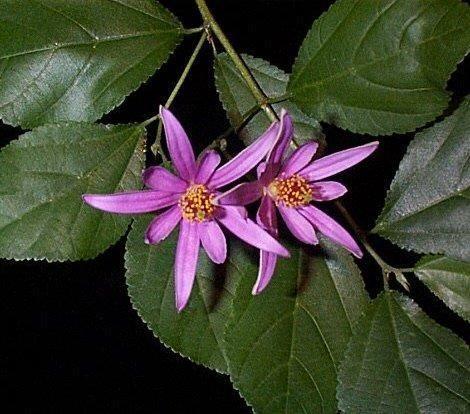 Grewia Caffra Espalier Lavender Star Flower For Along Fence Blooms Spring Summer Full Sun Bonsai Tree Indoor Bonsai Tree Buy Bonsai Tree
