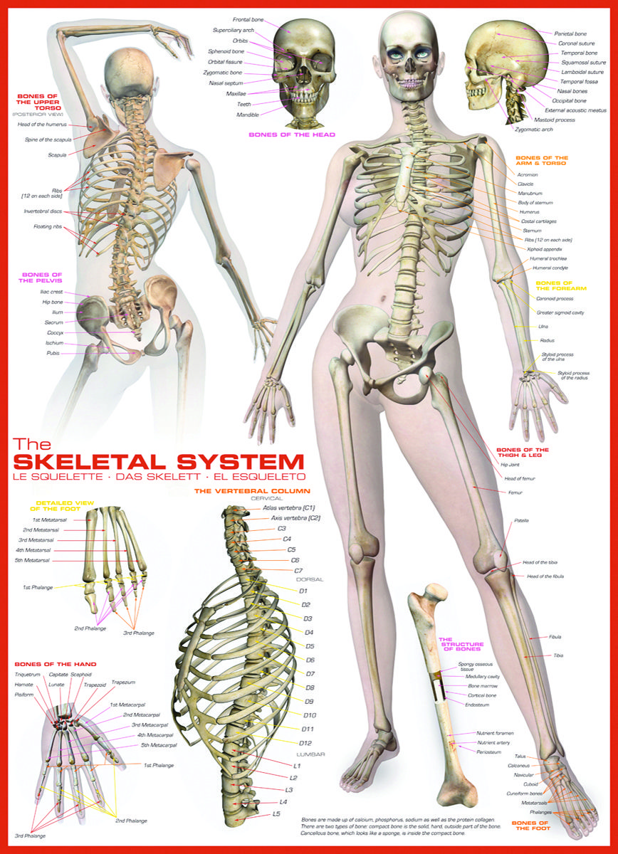 Eurographics Skeletal System Human Body 1000 Piece Puzzle Learn