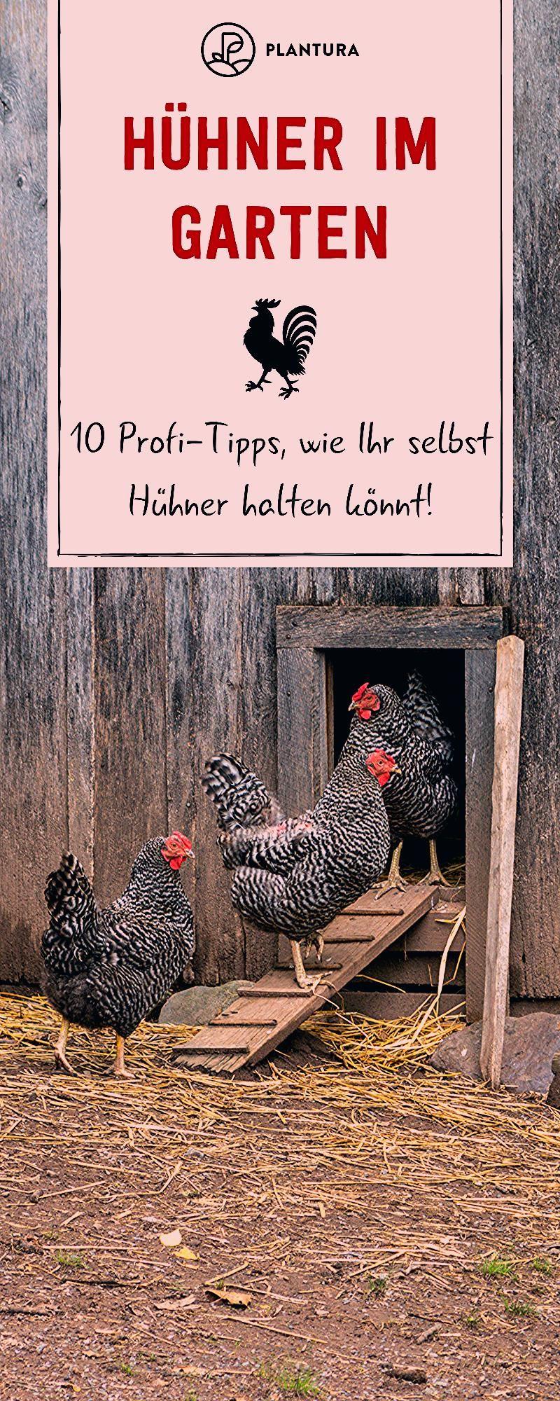 Photo of Hühner im Garten: 10 Profi-Tipps zur richtigen Haltung – Plantura