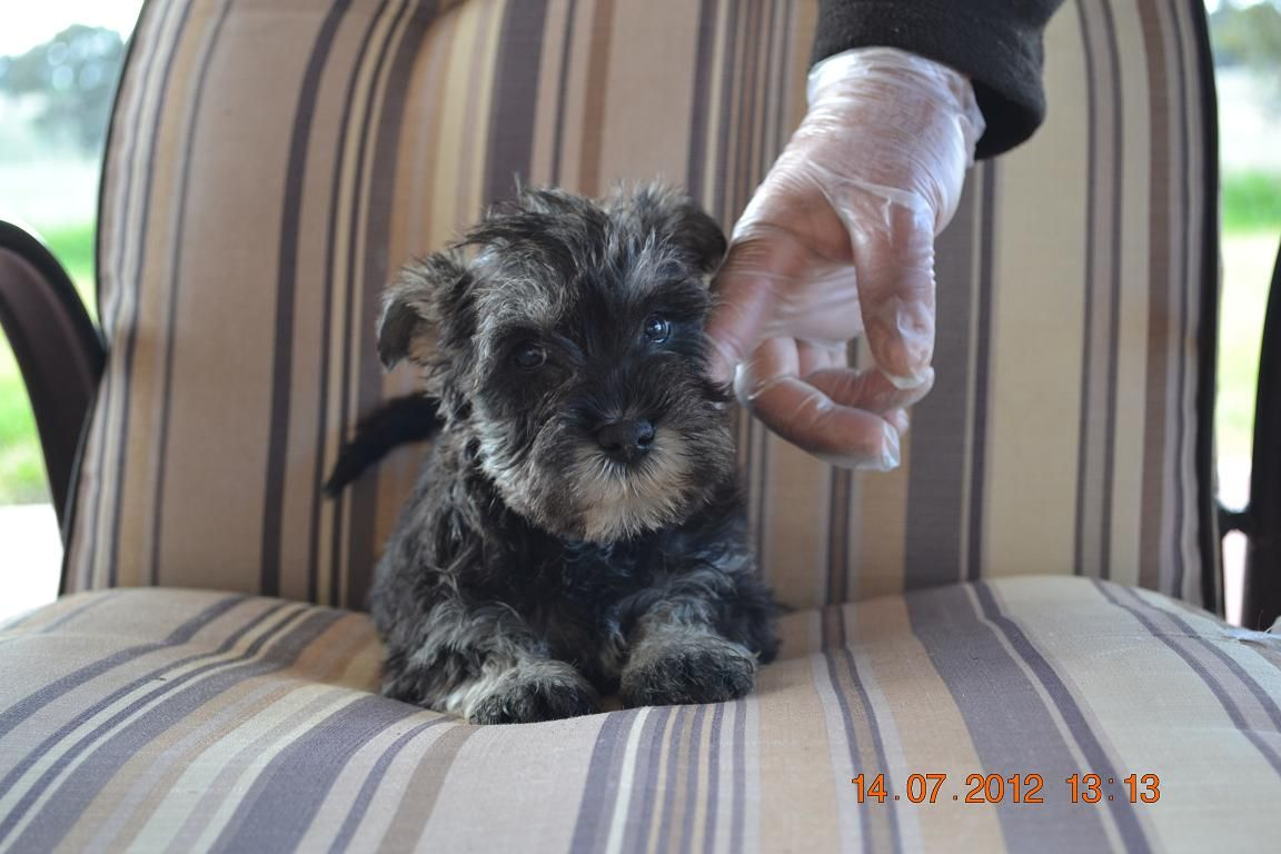 Miniature Schnauzer Puppies For Sale In Melbourne Miniature Schnauzer Puppies Schnauzer Puppy Puppies