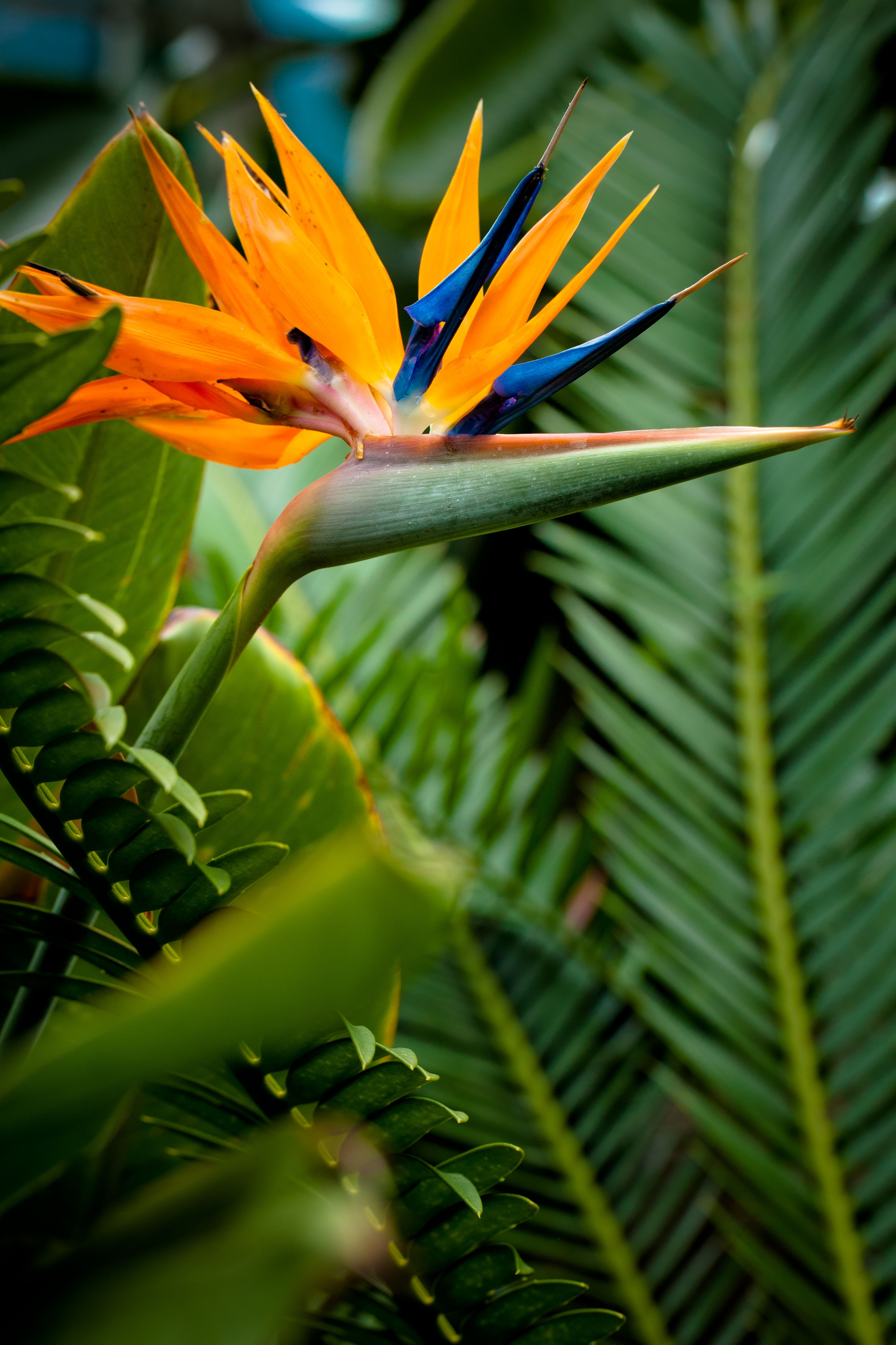 Bird Of Paradise Birds Of Paradise Flower Birds Of Paradise Birds Of Paradise Plant