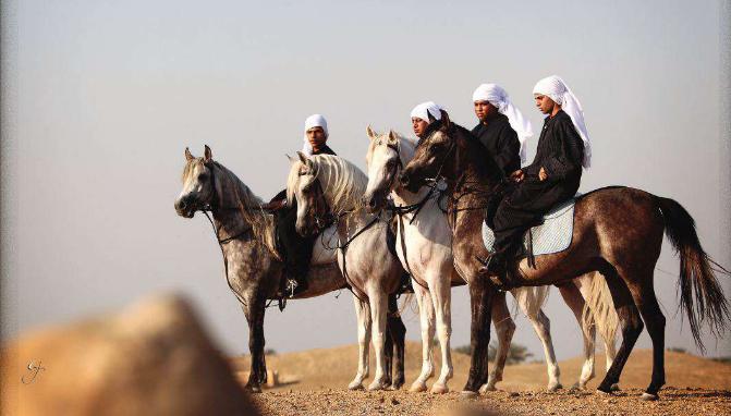 انشاء أول ناد للفروسية فى جامعة المنصورة All Horse Breeds Arabian Horse Horse Breeds