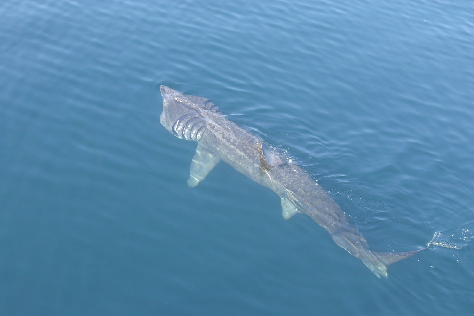 basking shark sharky sharks basking shark and search the basking shark cetorhinus maximus is the second largest living fish after the whale shark and the second of three plankton eating s