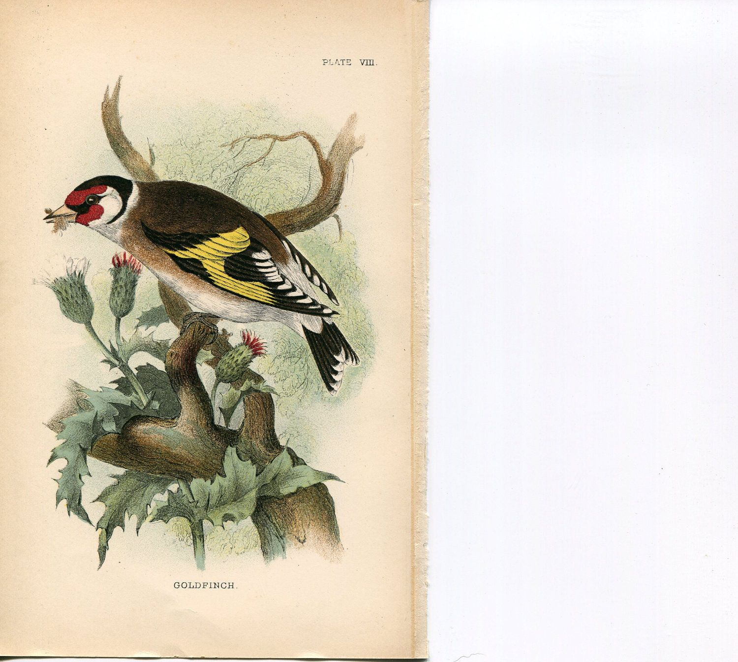 Original antique hand colored natural history book plate fish and birds 840/'s