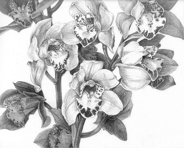 Cymbidium Orchids Botanical Art Monochrome Art Art