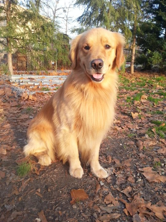 Golden Golden Retriever Dogs Dog Party