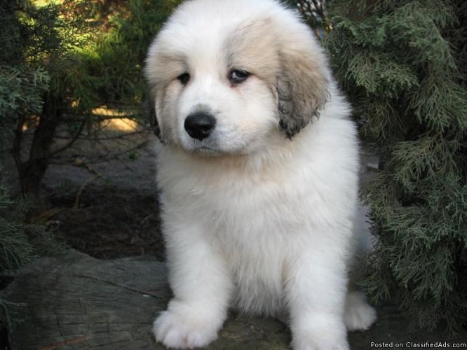 Great Pyrenees Puppies Cute As Pups But Get Way Too Big As