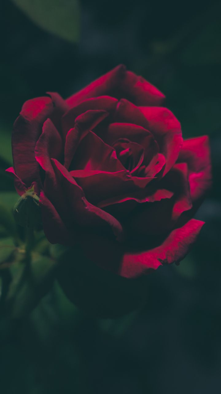 Pin By Iris Margarida On Flower Red Roses Wallpaper Rose Wallpaper Wallpaper Iphone Roses