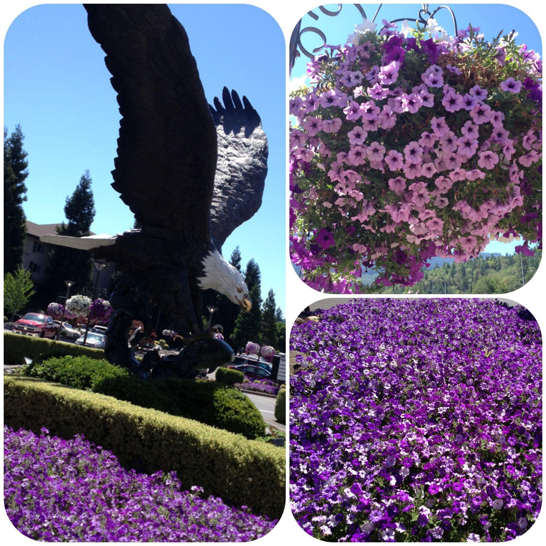 Summer Petunias At Seven Feathers Casino Resort In Canyonville Oregon Casino Resort Resort Rogue River