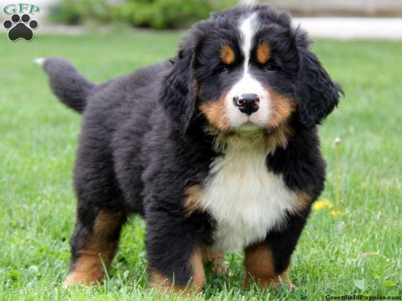 Best Bernese Mountain Dog Chubby Adorable Dog - c4433c13674c1d25ea062df645795558  Pic_479112  .jpg