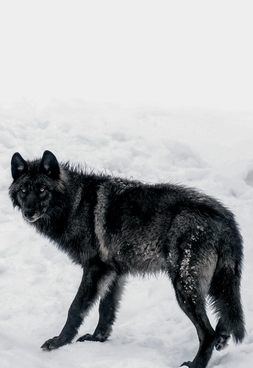 "johnnybravo20: "" Black Wolf (by Janet Capling)"" | Wolf dog, Wolf  photography, Black wolf"