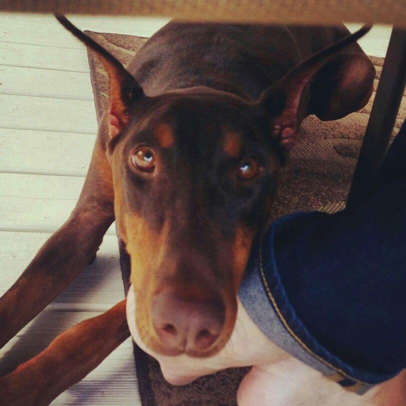 Velcro Lucalubrasi Doberman Dogs Adoption