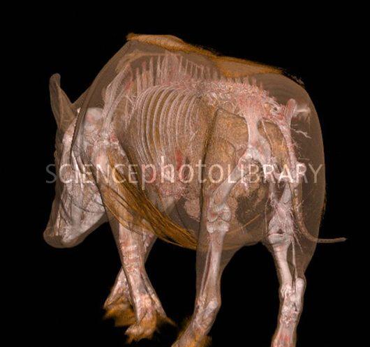 Boar anatomy, CT scan | Wonderful Animals | Pinterest | Anatomy ...