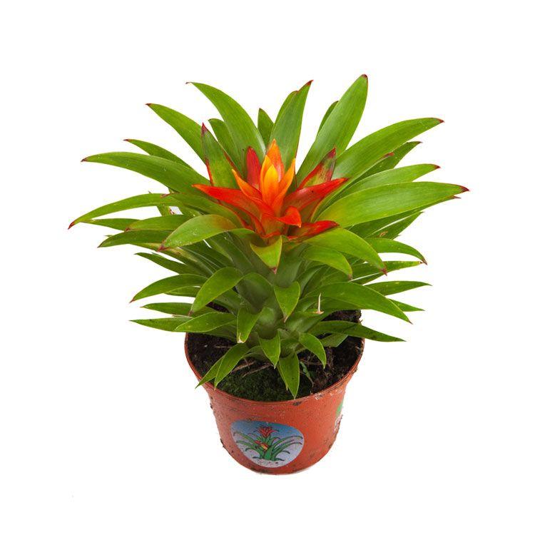 Guzmania Theresa Terrarium Planten Planten Terraria
