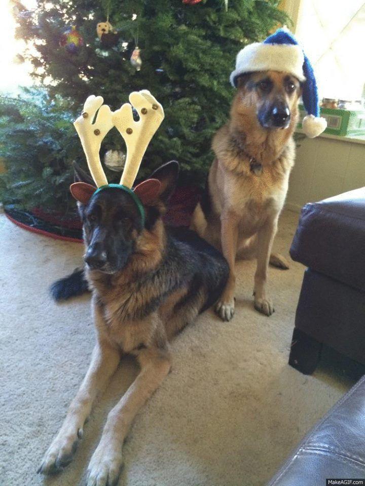 German shepherd duo meet vidra and otto pet holiday