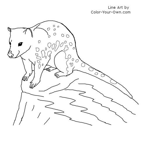 Quoll Line Art Animal Coloring Pages Coloring Pages Quoll