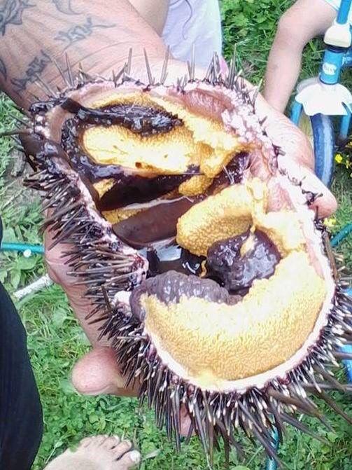 New Zealand Maori Food: Kina Maori Food From The Sea New Zealand Delicacy