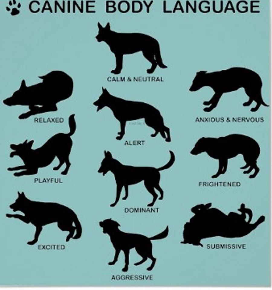 Blue German Shepherd Dog Body Language Dogs Dog Behavior