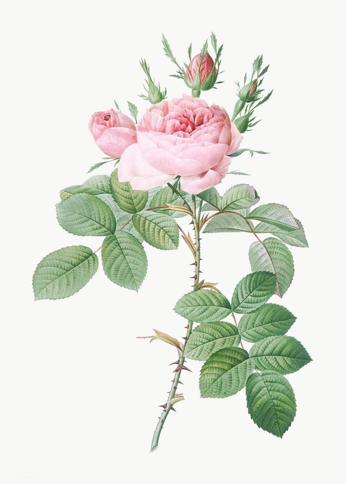 Download Premium Png Of Vintage Rose Of Perfume Transparent Png 574495 Botanical Illustration Vintage Vintage Roses Botanical Art