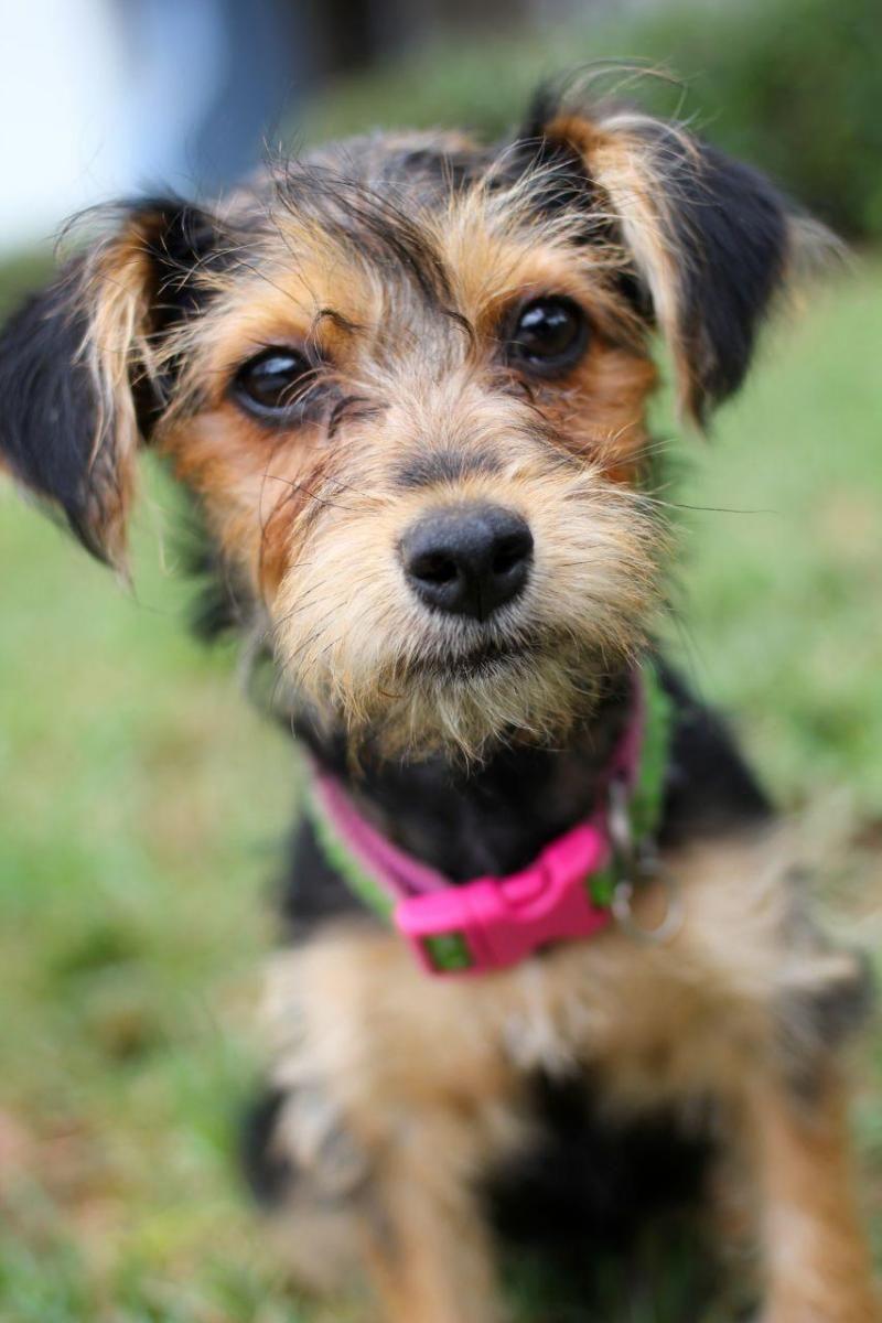 Adopt Lettie On Petfinder Corgi Mix Dogs Dog Adoption