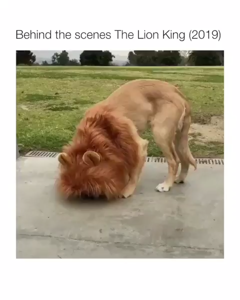 Who would've thought lions are so friendly.🐶❤