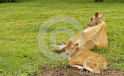 A Calf and a cow on a farm