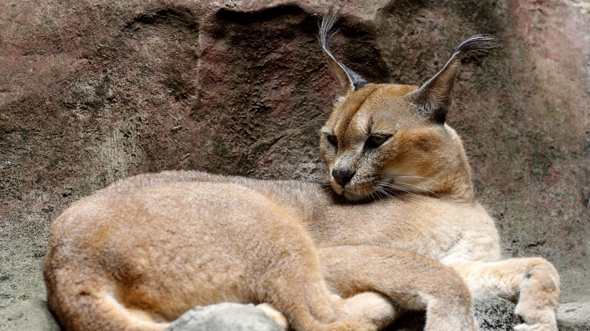 Caracals Caracal kittens, Animals wild, Wild cats