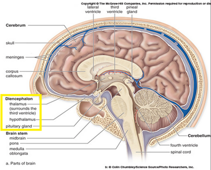 Pin On Pt School The cerebral aqueduct is located within the mesencephalon and connects the third ventricle in the diencephalon to the fourth ventricle in the region of the mesencephalon and metencephalon. pin on pt school