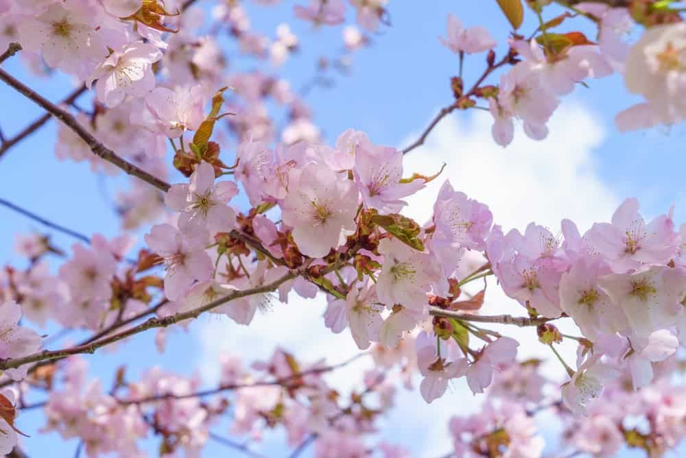 22 Different Types Of Cherry Blossoms And Interesting Facts In 2021 Ornamental Cherry Cherry Tree Varieties Flowering Cherry Tree