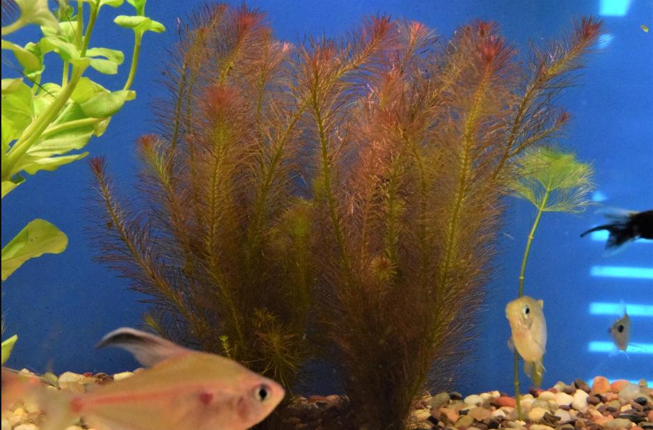 Buy Freshwater Aquarium Plants In 2020 Freshwater Aquarium Plants Planted Aquarium Freshwater Plants