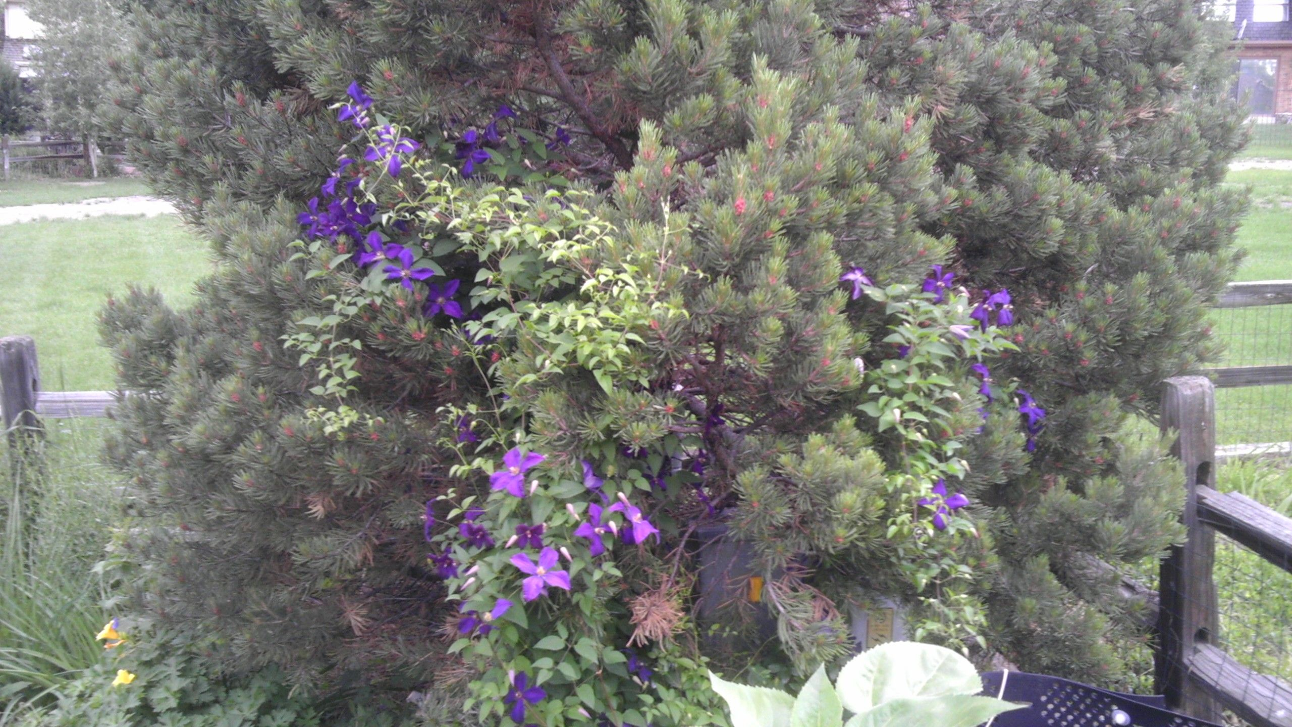 Clematis Growing Up The Pine Tree Clematis Plants Tree