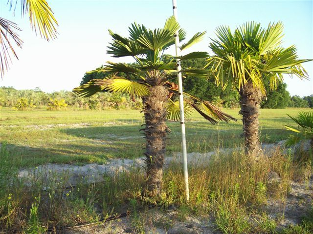 Buy Cold Hardy Palm Trees Waggie Palm Tree Coldhardy Coldpalms Feildgrown Wholesalepalms
