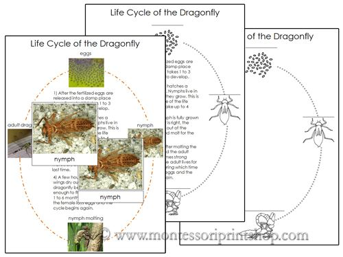 Dragonfly Life Cycle Cards and Charts Printable