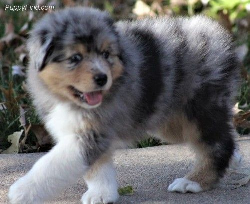 Pin By Molly Hart On Aussie Dog House Aussie Dogs Puppies Cute Puppies